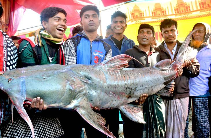 বগুড়ার পোড়াদহ মেলায় ৮২ কেজি ওজনের বাঘাইড় মাছ। প্রতি কেজির দাম ১৪০০ টাকা।