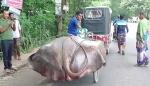 পদ্মায় ধরা পড়ল ১০ মণ ওজনের 'শাপলা পাতা' মাছ